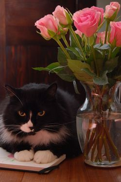 Tuxedo cat (long-haired male) & roses, by Pigeon-camera